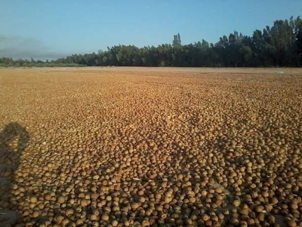 Maleh Dry Lemon شركه_المالح_لليمون_المجفف مناشر ليمون Sawmills lemon